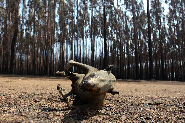 Animal「Bushfires Continue To Burn On Kangaroo Island As Army Reserve Arrives To Assist Clean Up Operations」:写真・画像(13)[壁紙.com]