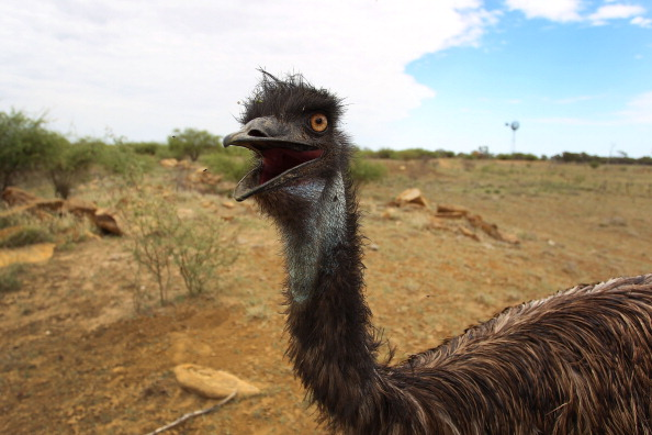 Emu「Record Drought-Declared Throughout The State of Queensland」:写真・画像(0)[壁紙.com]