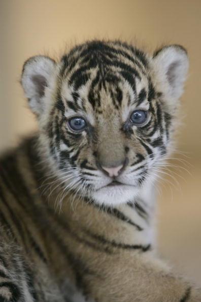 Regency Style「Endangered Sumatran Tiger Cubs Born In Indonesia」:写真・画像(16)[壁紙.com]