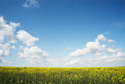 Agricultural Field「rapeseed field」:スマホ壁紙(7)