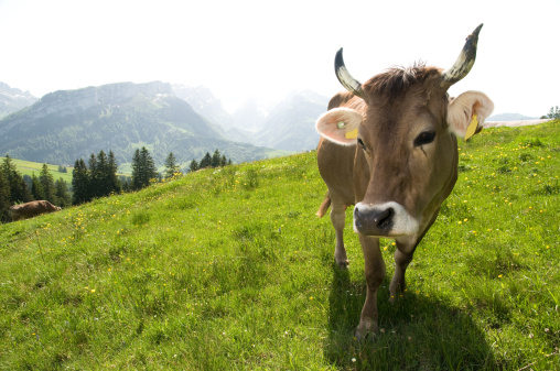 Horned「cow looking into camera」:スマホ壁紙(7)