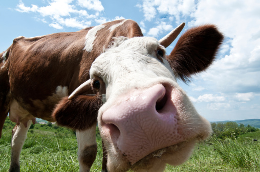 Making A Face「Cow looking straight into the camera」:スマホ壁紙(13)
