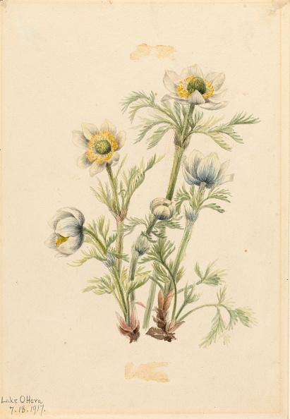 Wildflower「Plume Anemone (Pulsatilla Occidentalis)」:写真・画像(9)[壁紙.com]