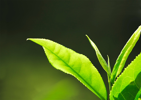 Green Tea「Fresh Tea Growth Macro」:スマホ壁紙(14)