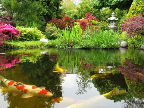 Koi Carp「Big Kois in the pond」:スマホ壁紙(11)