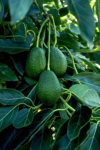 Avocado「Avocados」:スマホ壁紙(5)