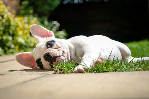Playing「Pied French Bulldog puppy resting in the garden, lying down on the grass in the garden of an English home.」:スマホ壁紙(11)