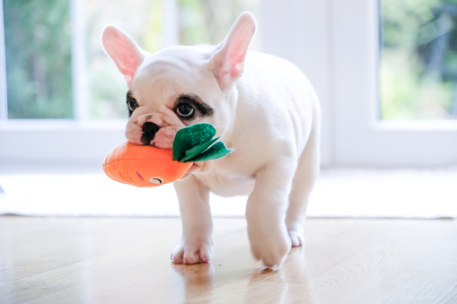 Walking「Pied French Bulldog puppy walking with a carrot toy in her mouth」:スマホ壁紙(19)