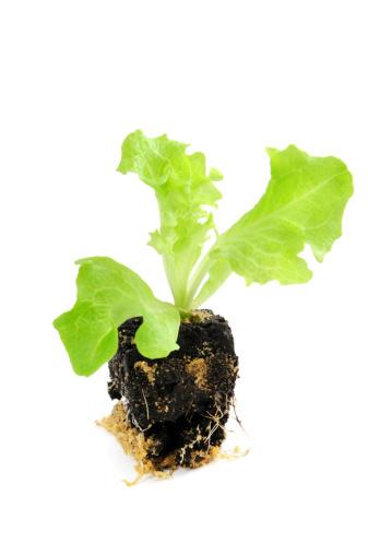 Planting「Seedling of Lollo Bionda Lettuce Salat」:スマホ壁紙(2)