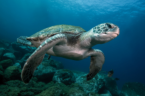 Reptile「A green turtle swimming in open water」:スマホ壁紙(14)