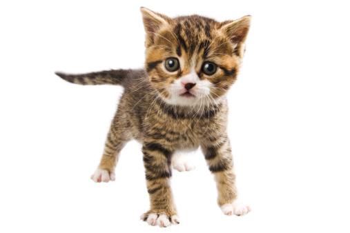 Tabby Cat「courageous kitten」:スマホ壁紙(15)