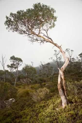 クレイドル山「Cradle Mountain NP, Eucalyptus tree in Fog 」:スマホ壁紙(0)