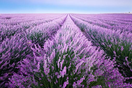 Lavender Color「France, Provence, lavender fields」:スマホ壁紙(19)