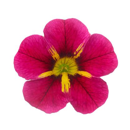 Botany「Callie flower, Calibrachoa 'Starlight Cherry' on white.」:スマホ壁紙(1)