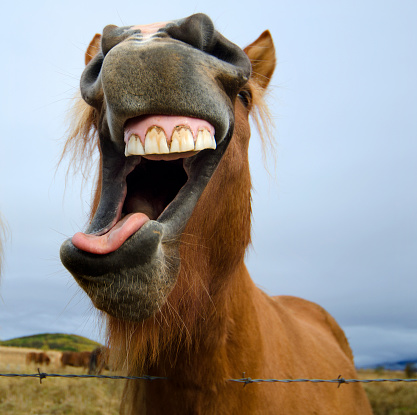 Animal Mouth「Icelandic Horse Making a Silly Face」:スマホ壁紙(14)