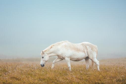 Stallion「Icelandic Horse On Pasture」:スマホ壁紙(17)