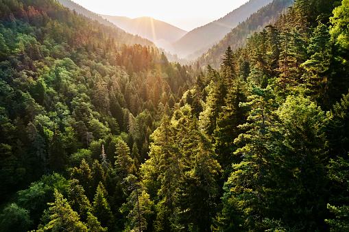 Pine Woodland「Borjomi Kharagauli National Park, Georgia」:スマホ壁紙(8)