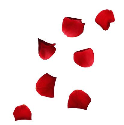 Square Shape「Falling red rose petals on white.」:スマホ壁紙(9)