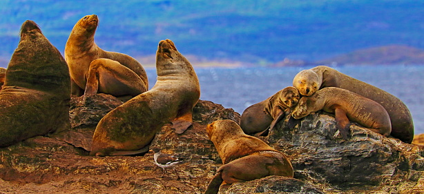 Sea Lion「Sea lions and Seals resting and sleeping over rock island colony in Beagle Channel -  Ushuaia」:スマホ壁紙(14)