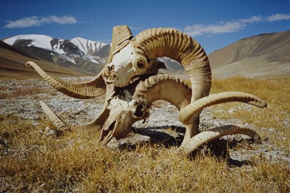 Horned「Marco Polo Sheep Skulls」:写真・画像(12)[壁紙.com]