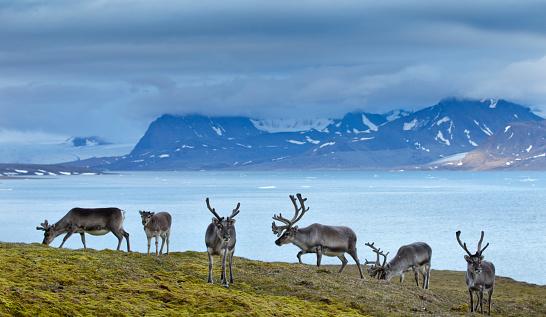 reindeer「Reindeer, Svalbard, Norway」:スマホ壁紙(18)
