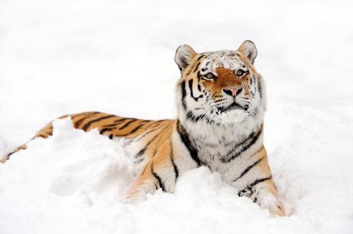 Tiger「tiger in snow」:スマホ壁紙(2)