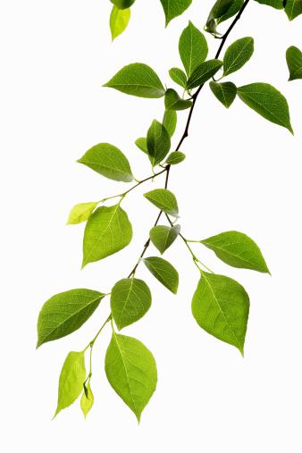Branch - Plant Part「Leaf Series」:スマホ壁紙(7)