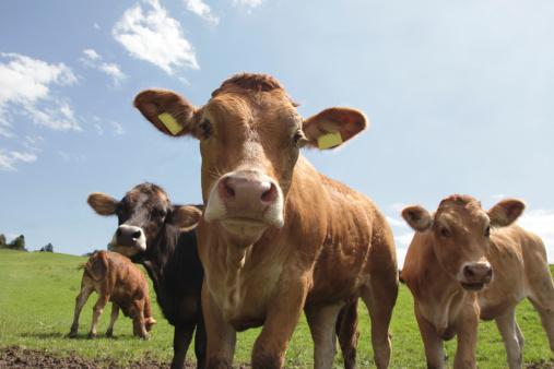 Cow「Pretty Calfs on Mountain pasture」:スマホ壁紙(17)