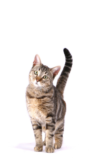 Tabby Cat「Inquisitive Cat」:スマホ壁紙(8)