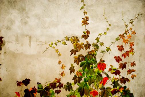 かえでの葉「Wall with green wild vine, close-up」:スマホ壁紙(15)