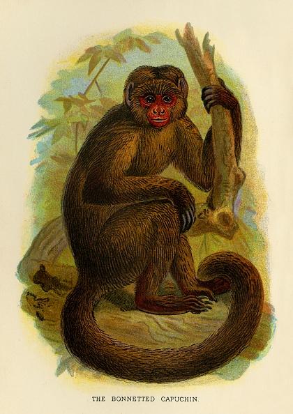 Tail「The Bonneted Capuchin」:写真・画像(2)[壁紙.com]