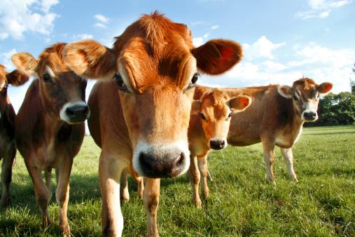Jersey - England「Jersey Cows」:スマホ壁紙(2)