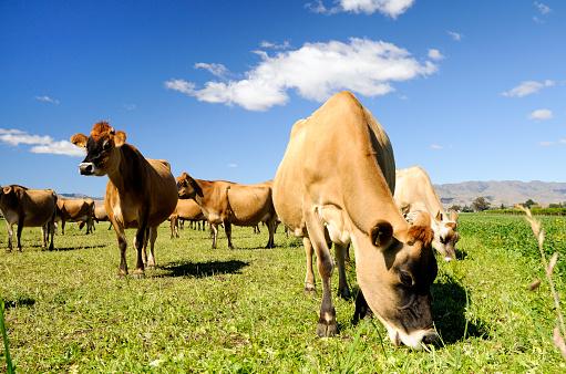 Females「Jersey Cows Grazing」:スマホ壁紙(16)