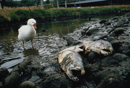 質感「Large salmon on river bank killed by toxic spill, white duck to left」:スマホ壁紙(0)