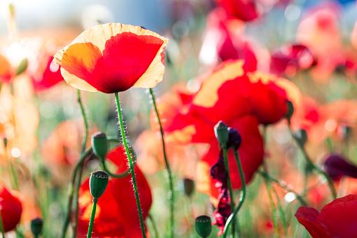 Wildflower「Fresh Wild Poppies Growing in the Meadow」:スマホ壁紙(6)