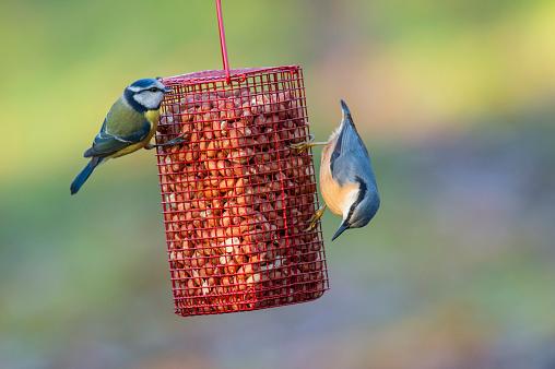 Norfolk - England「Blue Tit and Nuthatch on peanut feeder」:スマホ壁紙(17)