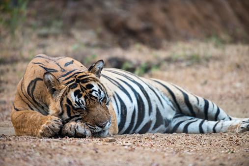 Tiger「Bengal tiger sleeping on track」:スマホ壁紙(13)