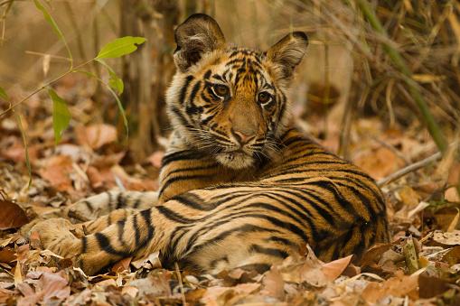 Tiger「Bengal Tiger Cub in Forest」:スマホ壁紙(4)