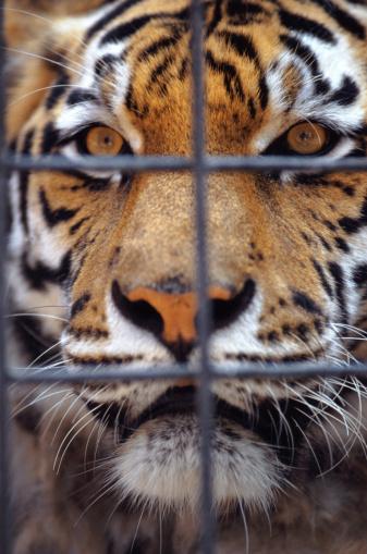 Tiger「Bengal tiger」:スマホ壁紙(4)