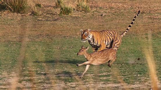 Tiger「Bengal Tiger in Rajasthan, India, chasing a Chital Deer.」:スマホ壁紙(16)