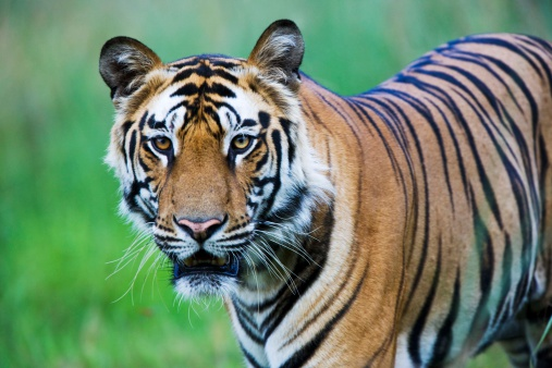 Tiger「Bengal tiger」:スマホ壁紙(5)