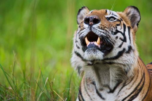 Tiger「Bengal tiger」:スマホ壁紙(15)