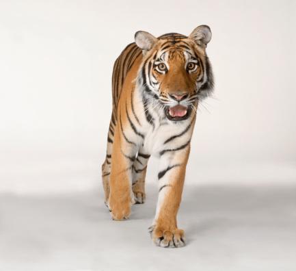 Tiger「Bengal tiger」:スマホ壁紙(19)