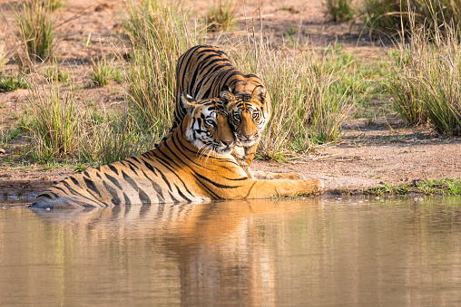 Tiger「Bengal tiger mother with cub at edge of pool」:スマホ壁紙(18)