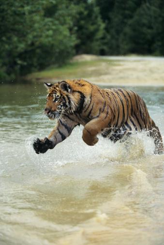 Tiger「Bengal tiger (Panthera tigris tigris) charging through water」:スマホ壁紙(16)