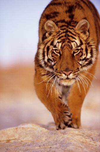 Tiger「Bengal Tiger (panthera tigris), close-up」:スマホ壁紙(3)