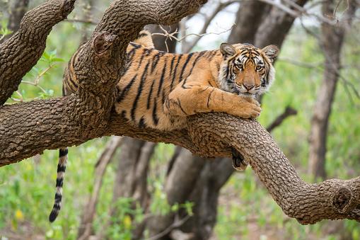 Tiger「Bengal tiger (Panthera tigris tigris) on a tree, wildlife shot」:スマホ壁紙(1)