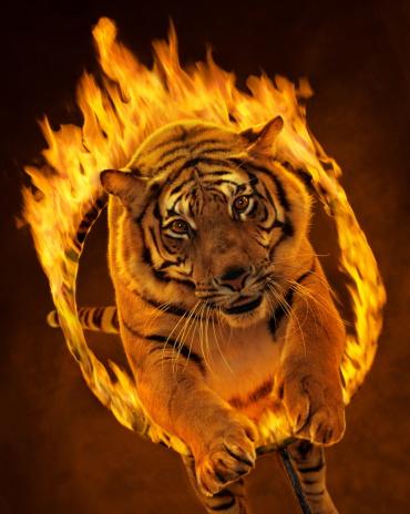 Tiger「Bengal tiger leaping through burning hoop (Digital Composite)」:スマホ壁紙(3)