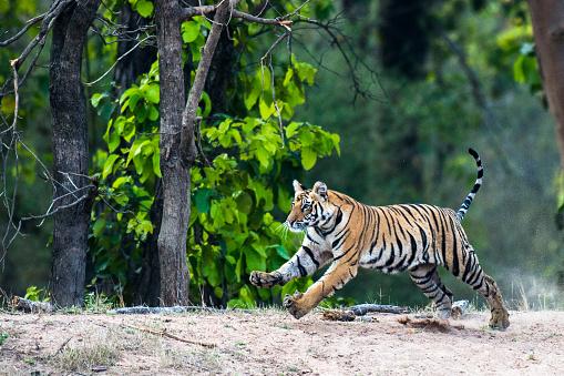 Tiger「Bengal tiger running at edge of sal forest」:スマホ壁紙(8)