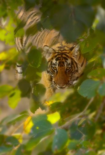 Tiger「Bengal tiger (Panthera tigris) in forest」:スマホ壁紙(13)